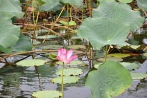 water lily kakadu yellow waters